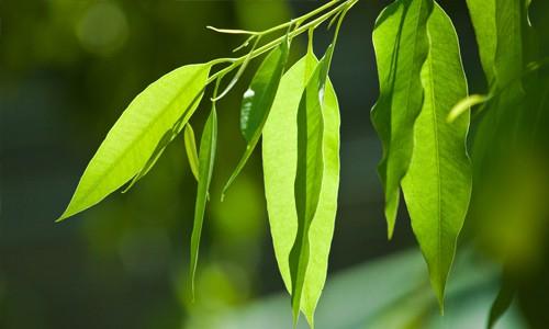 Eucalyptus - Eucalyptus Smithii
